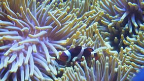 Close up of a clownfish and anemone. Close up of a percula clownfish and anemone in a tropical reef aquarium stock footage