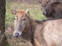 Close-up of a Pere David's Deer Royalty Free Stock Images