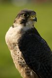 Close-up of peregrine falcon with grassy background Royalty Free Stock Image