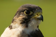 Close-up of peregrine falcon head facing right Royalty Free Stock Images
