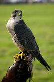 Close-up of peregrine falcon on leather glove Royalty Free Stock Photography