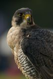 Close-up of peregrine falcon looking into distance Stock Image