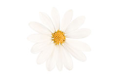 Close up of a perfect daisy isolated on white Stock Image