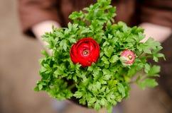 Close up persa vermelho do botão de ouro Fotos de Stock Royalty Free
