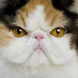 Close up of a Persian (1 year old) Royalty Free Stock Image