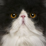 Close up of a Persian (10 monhs old) Stock Image