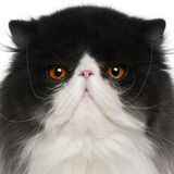 Close up of a Persian (10 monhs old) Stock Photo