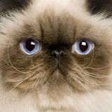 Close up of a Persian (8 monhs old) Stock Image