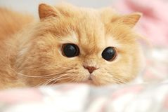 Close up persian cat Royalty Free Stock Images