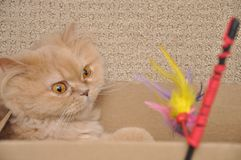 Close up persian cat Royalty Free Stock Photo