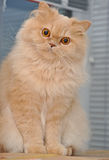 Close up persian cat Royalty Free Stock Image