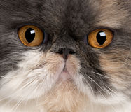 Close-up of Persian cat Royalty Free Stock Images