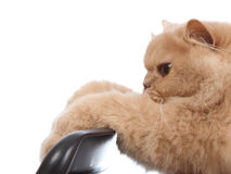 Close-up Persian Cat Stock Image