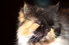 Persian cat face. Close up of a Persian cat face with sun on Royalty Free Stock Image