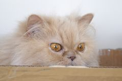Close up of persian cat playing hide and seek with people Stock Image