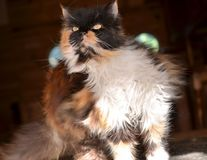 Persian cat scratching. Close up of a Persian cat scratching itself Stock Photo