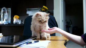 Close up persian cat shaking hand with people. On table stock video