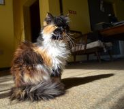 Persian cat sitting. Close up of a Persian cat sitting with sun from one side Royalty Free Stock Photo