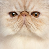 Close-up of Persian kitten Stock Photos
