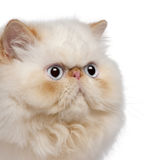 Close-up of Persian kitten, 5 months old Royalty Free Stock Image