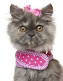 Close-up of Persian kitten dressed in pink Royalty Free Stock Photos