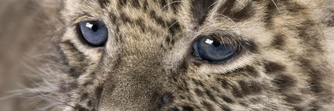 Close-up on a Persian leopard Cub (6 weeks) Stock Images