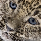 Close-up on a  Persian leopard Cub (6 weeks) Stock Photos