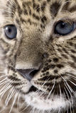 Close-up on a  Persian leopard Cub (6 weeks). In front of a white background Royalty Free Stock Image