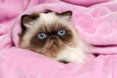 Close up of a persian seal colourpoint cat on a pink bedspread Stock Photos