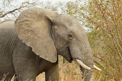 Close up and personal. African elephant close up feeding Royalty Free Stock Photos