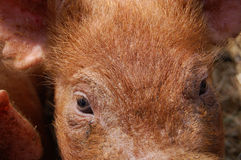 Close up and personal with a pig Royalty Free Stock Photography