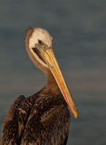 Close-up of Peruvian Pelican Stock Photography