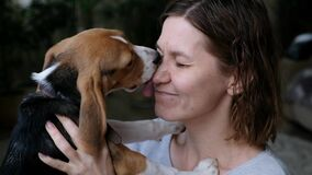Close up of a pet beagle kissing a woman, love animals concept. Dog licking her owner nose.