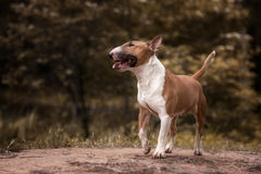 Close Up Pet red Bullterrier Dog Portrait Indoor On nature Background Royalty Free Stock Image