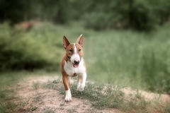 Close Up Pet red Bullterrier Dog Portrait Indoor On nature Background Stock Photography