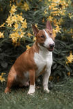 Close Up Pet red Bullterrier Dog Portrait Indoor On nature Background Stock Image