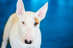 Close Up Pet White Bullterrier Dog Stock Images
