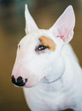 Close Up Pet White Bullterrier Dog Royalty Free Stock Photos
