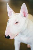 Close Up Pet White Bullterrier Dog Stock Photo