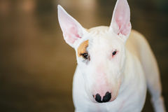 Close Up Pet White Bullterrier Dog Royalty Free Stock Image