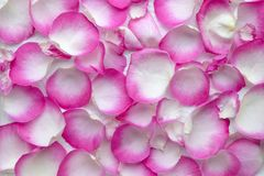 Beautiful color of petals roes stock photography