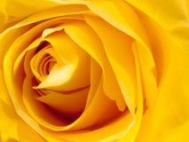 Close up petals of yellow rose bud macro detail Stock Images