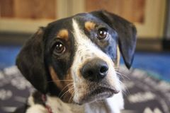 Beagle hound mix dog portrait. Close up of a pets face. a dog begging in the kitchen Royalty Free Stock Images