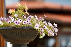 Close-up of petunia flowers Stock Photo