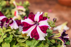 Close-up of Petunia Grandiflora Flower. At Taj Mahal, Agra, India Royalty Free Stock Images