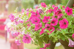 Close up petunia plant. Royalty Free Stock Photo