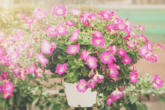 Close up petunia in pot and sunlight. Royalty Free Stock Photography