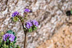 Close up of Phacelia Phacelia crenulata wildflower blooming in Anza Borrego Desert State Park, San Diego county, California stock photography
