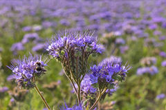 Close-up of phacelia on a field Stock Photo