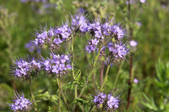 Close-up of phacelia on a field. Close-up of purple phacelia on a field or in the garden Stock Image